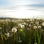 Field of dandelions in sunlight, courtesy of Jason Long from unsplash.com