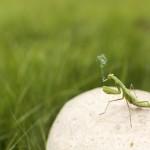 Smoking Praying Mantis, Courtesy of Gratisography.com