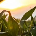 sunset in cornfield